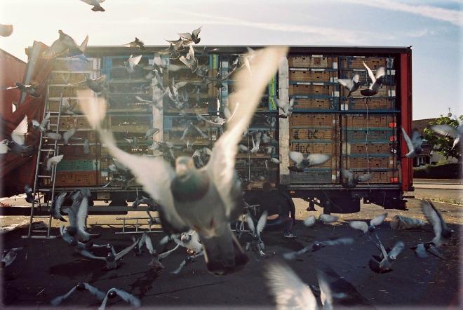Colombophilie. Laché de pigeons voyageurs à Chateaudun. © Samuel Bollendorff / France Télévisions / Les Films du Bilboquet